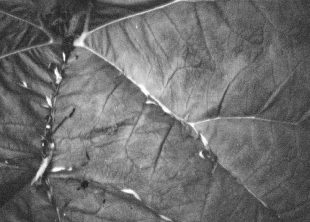 big-leaf